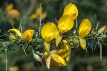 Ulex Europaeus, Yellow Flowers Close Up
