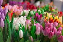 Many Tulips Background.  Bouqu...