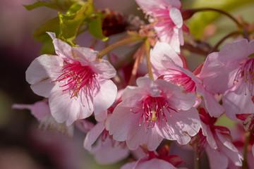 Fototapeta Kwiaty Kawazu Sakura of Fukuei Sports Plaza, Ichikawa City, Chiba Prefecture, Japan