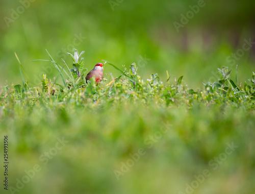 Photo  Estrilda astrild (Bico-de-lacre) little cute bird eating in a grass field, Braga, Portugal