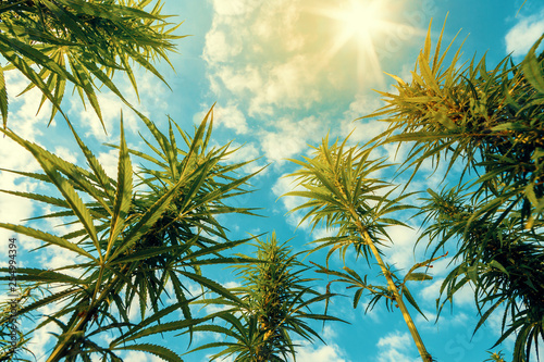 Photo  Cannabis Plants on Field with Blue Sky and Sun on Background