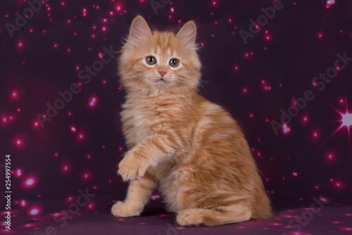 ładny kitty kurilian bobtail na fioletowym tle