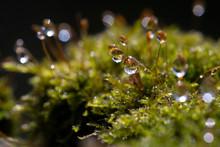 Hypnum Moss Cypress With Dew I...