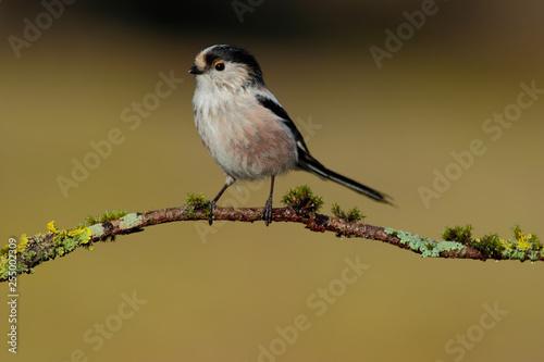 Fényképezés  Long-tailed Tit, Aegithalos caudatus, single bird on the branch on blurred backg