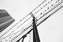 Flock Of Birds Sitting On Telephone / Electrical Lines