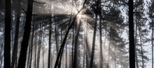 Sun Rays Pass Through Morning In The Pine Forest.