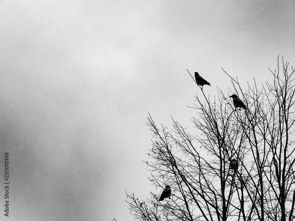 ravens on a tree, black and white photo (grainy)