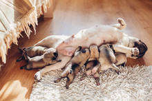 Pug Dog Feeding Six Puppies At...
