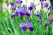 Iris Violet Flowers Home Garde...