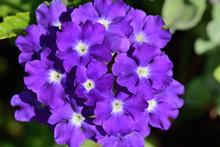 Close Up Of A Purple Verbena F...