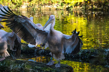 Great White Pelican, Pelecanus...