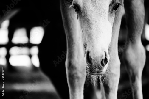 Fotomural Cute colt foal horse close up in black and white, vintage style farm and ranch image