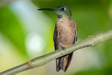 Fawn-breasted Brilliant Hummingbird (Heliodoxa Rubinoides), Tandayapa Area, Ecuador