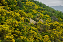 Scotch Broom On Hillside