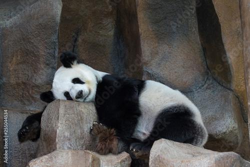 Fotografija  Image of a panda is sleeping on the rocks. Wild Animals.