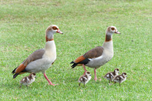 Egyptian Geese Walking With Go...