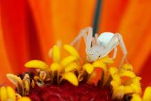 White Spider On Orange Flower