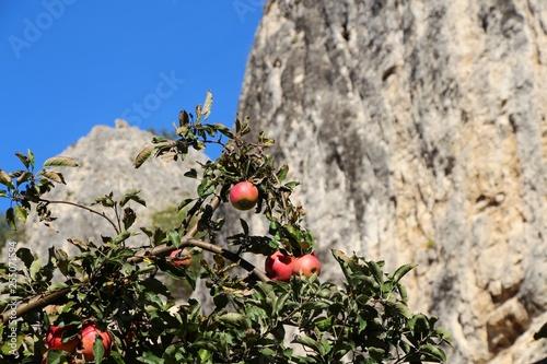 Fotografía  Ripe juicy red apples hangs on a branch of apple tree