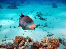 The Triggerfish Is A Beautiful...