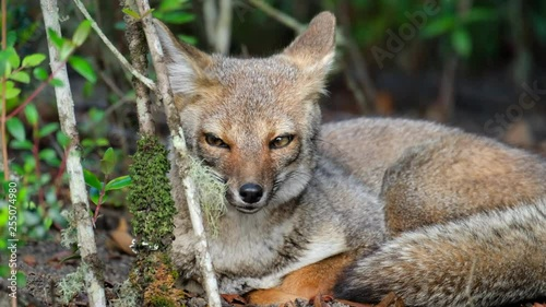 Valokuva  Red fox (Vulpes vulpes) sits in the forest
