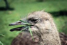 Ostrich Bird Eating Grass