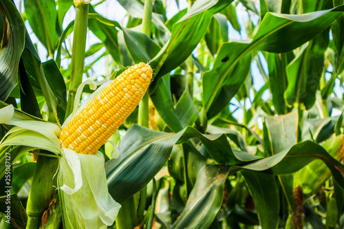 Fotografia Corn cob with green leaves growth in agriculture field outdoor