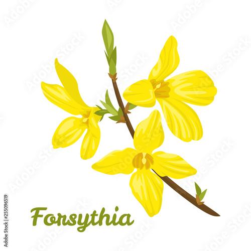Stampa su Tela Forsythia isolated on white background