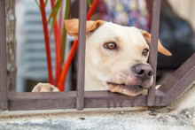 Sad Dog Is Sitting Behind Iron Gate In Asia.