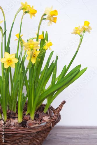 Fotografía  Wicker basket with daffodils