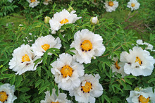 A Flower Of A Peony Tree With White Large Petals And A Yellow Center On A Bush With Green Leaves On A Sunny Spring Day