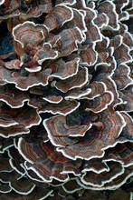 Turkey Tail (Trametes Versicolor). Another Scientific Names Are Coriolus Versicolor And Polyporus Versicolor.