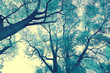 canvas print picture - Bottom view of trees against the sky. Vintage color