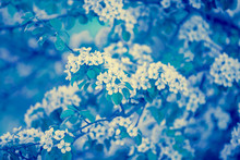 Blue Vintage Branch Of A Blossoming Pear Tree. Spring Nature Background. Blue Toned