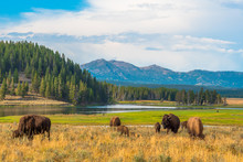 Buffalos At Hayden Valley In Yellowstone National Park, Wyoming, USA