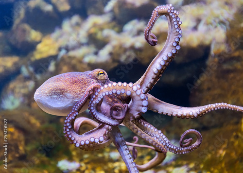 Canvas Print Close-up view of a Common Octopus (Octopus vulgaris)