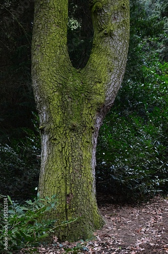 Bifurcation or tree fork of broadleaf tree trunk placed in botanical garden Fototapeta