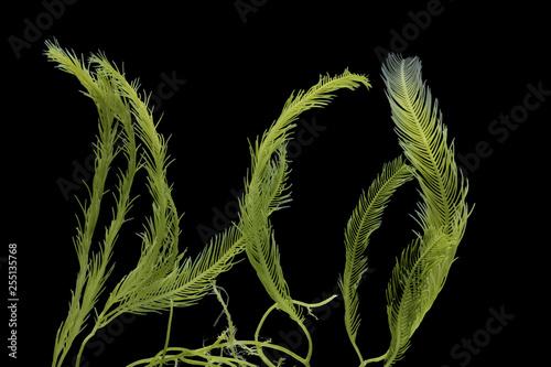 Fotografiet Saltwater Caulerpa taxifolia, Killer Algae, marine alga, seaweed isolated on black background