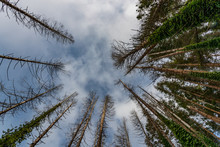 Looking Up Through Bare Branched Pine Forest Trees