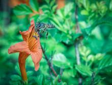 Honeysuckle Flower And Bee