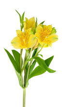 Yellow Alstroemeria Flower On White Background Isolated Close Up, Three Lily Flowers On One Branch With Green Leaves, Yellow Peruvian Lily Or Lily Of The Incas Illustration