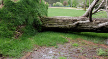 Tree Uprooted By Severe Wind S...