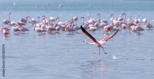 Birds pink flamingo on the salt lake run over the surface of the water.