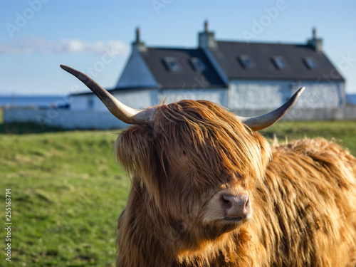 Fototapeta Highland Cow on Tiree obraz