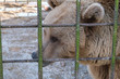 Brown bear sits in a cage at the zoo. Animal protection. Sochi Zoo. Animal in captivity.