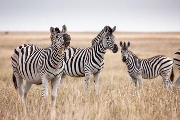 Fototapeta na wymiar Zebras migration - Makgadikgadi Pans National Park - Botswana