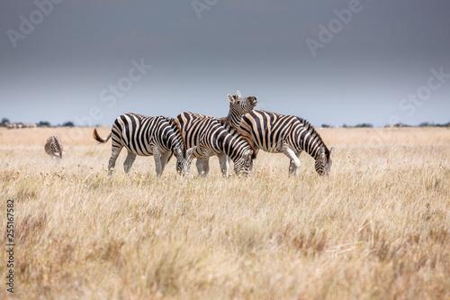 Fotobehang Zebra Zebras migration - Makgadikgadi Pans National Park - Botswana