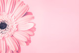 Fototapeta Kwiaty - Closeup of pink daisy flower on pink background with empty space. Romantic delicate spring feminine design for invitations, greeting cards, quotes, blogs, posters, flyers, banners, web, prints