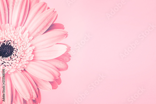Poster Gerbera Closeup of pink daisy flower on pink background with empty space. Romantic delicate spring feminine design for invitations, greeting cards, quotes, blogs, posters, flyers, banners, web, prints