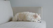 White Pomeranian Sleep On Sofa