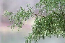 Raindrops On Cypress